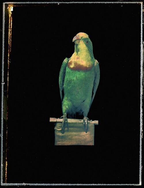 Papagei von Richard Neuhauss